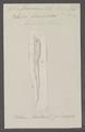 Salpa firoloïdea - - Print - Iconographia Zoologica - Special Collections University of Amsterdam - UBAINV0274 080 12 0022.tif