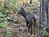 Sambhar deer.jpg