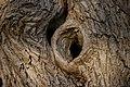 Sambucus-nigra-bark.JPG