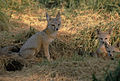 San-joaquin-kit-fox.jpg