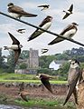 Sand Martin from the Crossley ID Guide Britain and Ireland.jpg