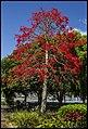 Sandgate Illawarra Flame Tree-2 (15518168711).jpg
