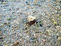 Sao Tome Hermit Crab 2 (16248953185).jpg