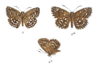 <i>Sarangesa sati</i> species of insect