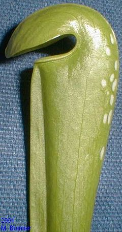 Sarracenia minor leaf.jpg