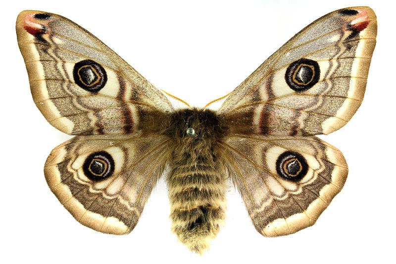 Альбом пользователя ЕкатеринаКостинская: Бабочка Малый ночной павлиний глаз . Коллекция 36 бабочек-малявок
