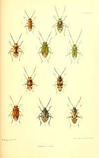SaundersHemipteraHeteropteraBritishIslesPlate23.jpg