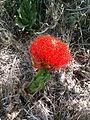 Scadoxus puniceus (4186853513).jpg