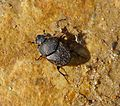 Scarab, Onthophagus species. - Flickr - gailhampshire.jpg