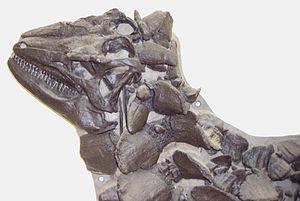 Scelidosaurus - Skull cast of the main David Sole specimen.