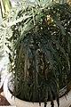 Schefflera elegantissima 6zz.jpg