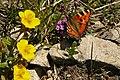 Schmetterling Kleiner Fuchs im LSG (00248.01) beim Iseler.jpg