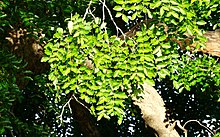 Sclerocarya birrea leaves.jpg