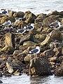 Seagulls on Rocks - Harbor - La Paz - Baja California Sur - Mexico (23793732996).jpg