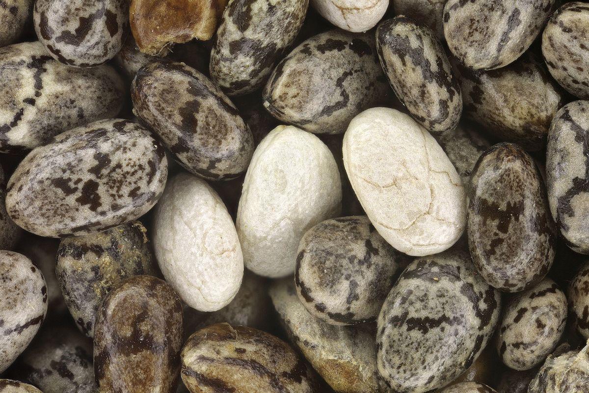 Chia Seed Wikipedia Organic Black Seeds 1 Kg