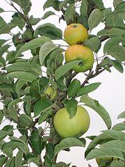 Der Seestermüher Zitronenapfel, eine Apfelsorte aus dem Kreis Pinneberg