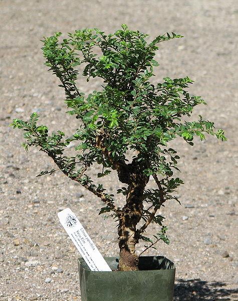 File:Seiju elm pre-bonsai.jpg