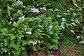Selaginella sp., Mt Coot-tha Botanic Gardens, Toowong IMGP0021.jpg