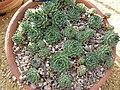 Sempervivum cantabricum (Crassulaceae) plant.jpg
