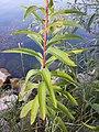 Senecio sarracenicus sl5.jpg