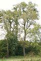Sepno, Populus, nat. monument 01.JPG
