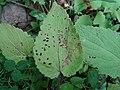 Septoria stachydis a1.jpg