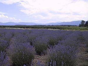 Sequim, Washington - A lavender farm in Sequim