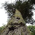 Sequoia sempervirens-IMG 8734.JPG