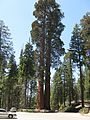 Sequoia twins - panoramio.jpg