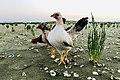 Serama kip (Gallus gallus domesticus) - Bezoekje aan de Grevelingen.jpg