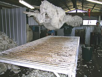 Wool classing - Throwing a freshly shorn fleece onto a wool table for skirting and classing.