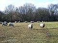 Sheep, East Pennard - geograph.org.uk - 1702633.jpg