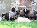 Sheep in churchyard of St Andrew's church - geograph.org.uk - 781790.jpg