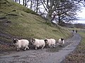 Sheep near Shemore Farm - geograph.org.uk - 125043.jpg