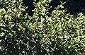Shepherdia canadensis (7996243933).jpg