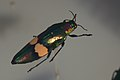 Shiny beetle (39136612124).jpg