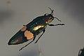Shiny beetle (39136612124).jpg