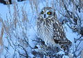Short-Eared Owl on Seedskadee NWR (24005631946).jpg
