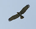 Short-Toed Snake Eagle (Circaetus gallicus) in Kawal WS, AP W2 IMG 2266.jpg