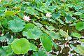 Shuangxi Lotus Garden 雙溪蓮花園 - panoramio.jpg