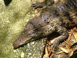 Siamese crocodile - Siamese Crocodile-Biblical Zoo