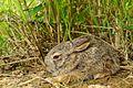 Siamese Hare, Lepus peguensis, in Kui Buri national park.jpg