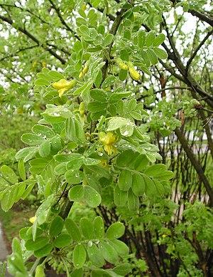 Gemeiner Erbsenstrauch (Caragana arborescens)