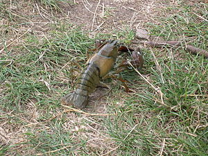 Crayfish plague - Signal crayfish, rear view, from Grand Union Canal near its inflow/overflow with the River Nene.