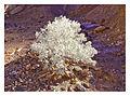 Silver Bush (3665661659).jpg