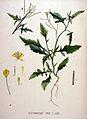 Sisymbrium irio — Flora Batava — Volume v20.jpg
