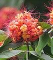 Sita-Ashok (Saraca asoca) flowers in Kolkata W IMG 4146.jpg
