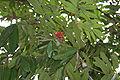 Sita-Ashok (Saraca asoca) leaves & flowers in Kolkata W IMG 2272.jpg