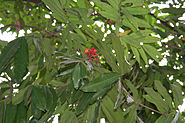 Sita-Ashok (Saraca asoca) leaves & flowers in Kolkata W IMG 2272