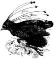 Six-shafted Bird of Paradise Mivart.png